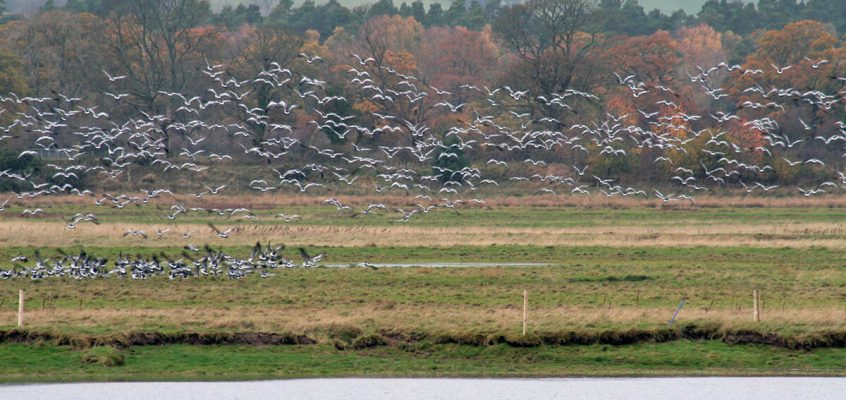 Come and see the Barnacle Geese in Caerlaverock