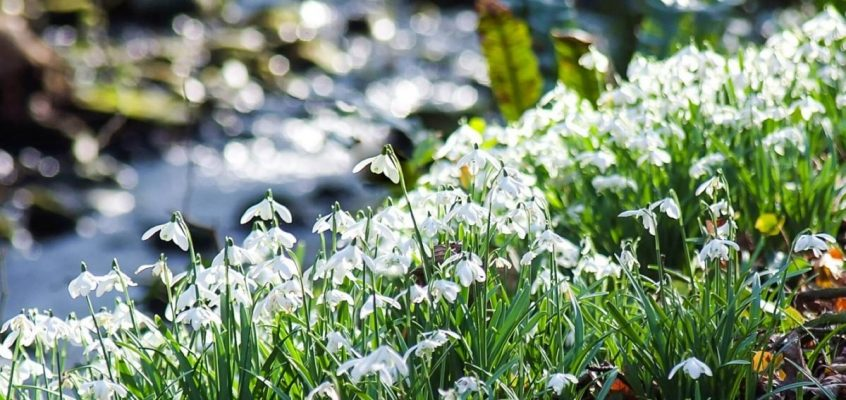 Spectacular displays of Snowdrops around Glencaple