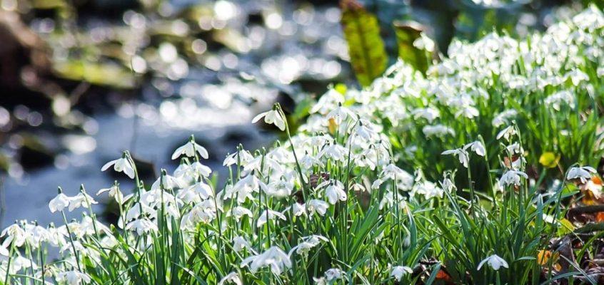 Spectacular displays of Snowdrops around Glencaple